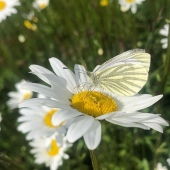 lucky shot of a green veined white!