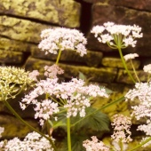 pale pink cow parsley